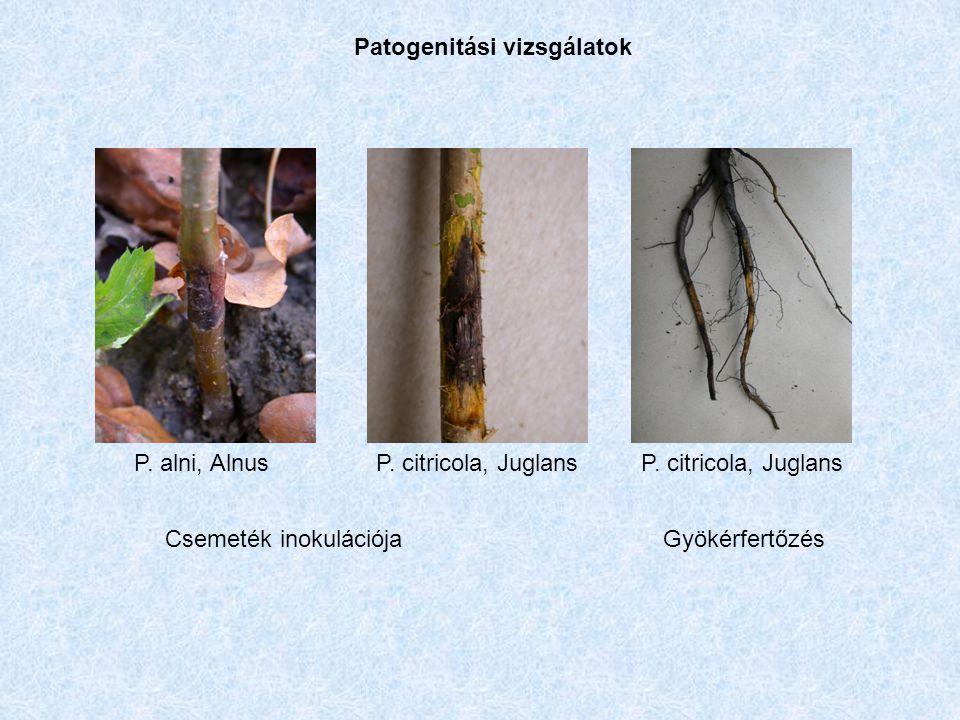 Patogenitási vizsgálatok P. citricola, JuglansP. alni, AlnusP.