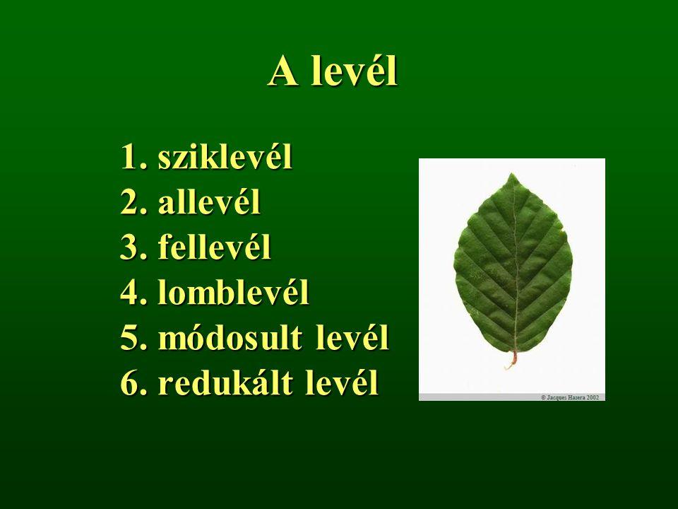 A levél 1. sziklevél 2. allevél 3. fellevél 4. lomblevél 5. módosult levél 6. redukált levél