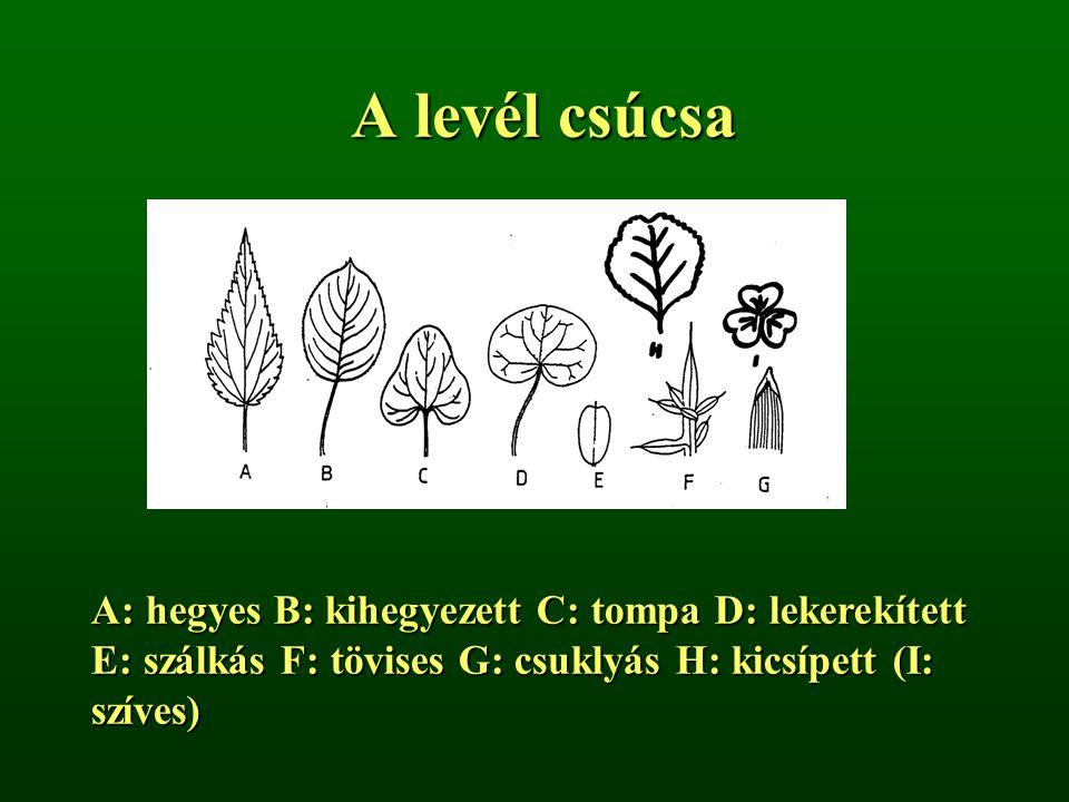 A levél csúcsa A: hegyes B: kihegyezett C: tompa D: lekerekített E: szálkás F: tövises G: csuklyás H: kicsípett (I: szíves)