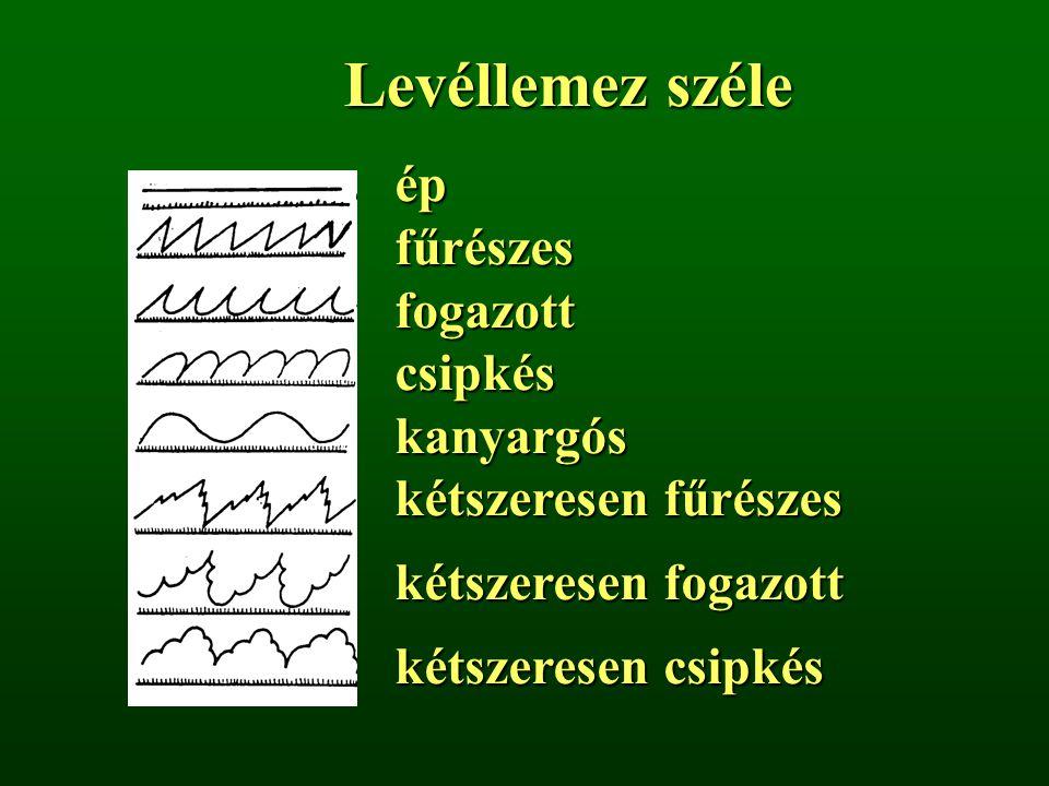 Levéllemez széle épfűrészesfogazottcsipkéskanyargós kétszeresen fűrészes kétszeresen fogazott kétszeresen csipkés