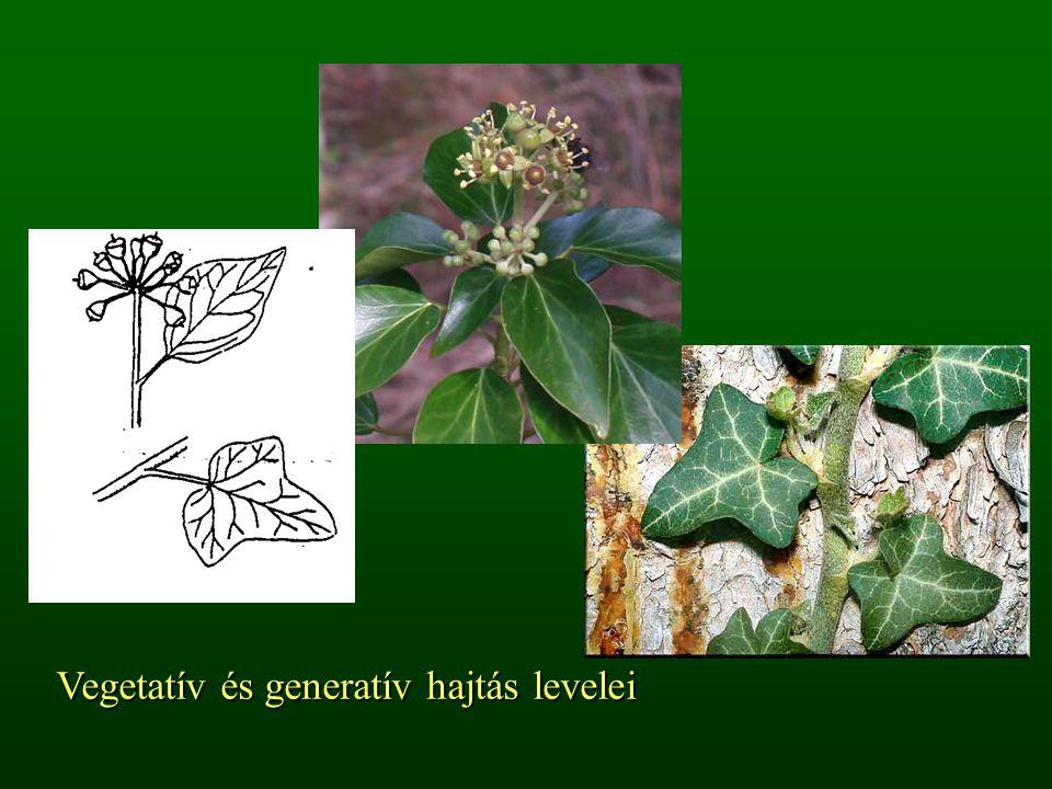 Vegetatív és generatív hajtás levelei