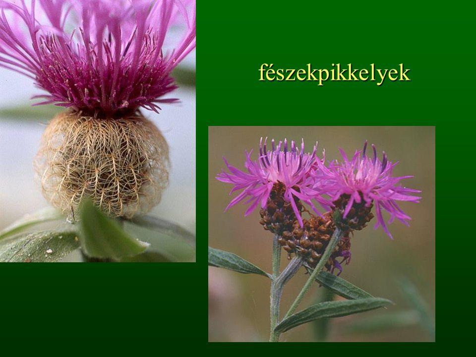 A levelek többalakúsága (heterofillia) 1.Víz alatti és víz feletti levelek 2.