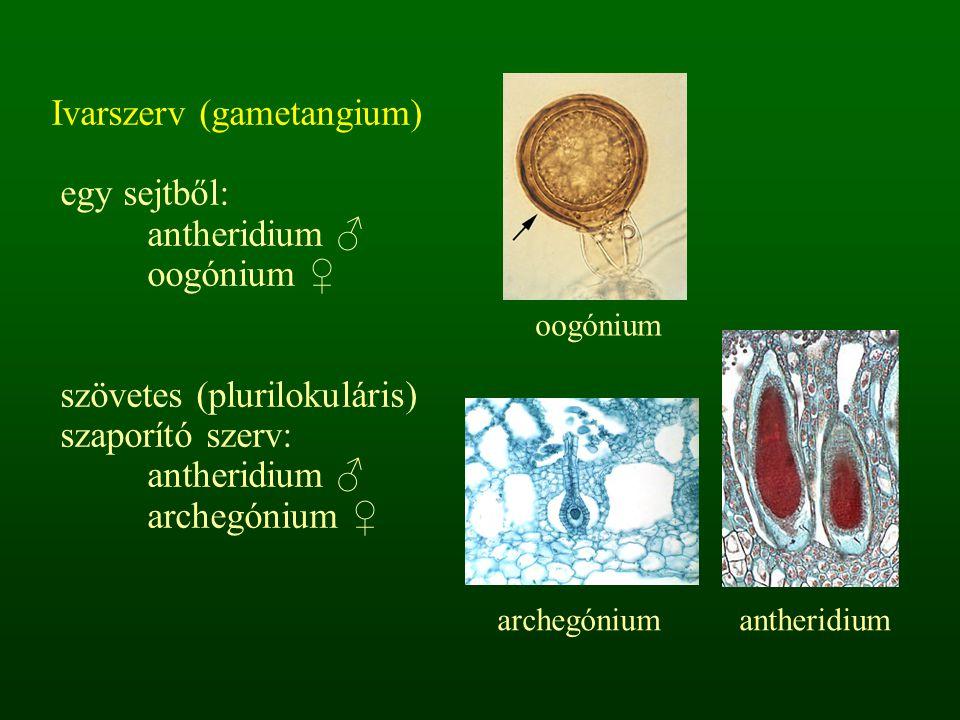 Ivarszerv (gametangium) egy sejtből: antheridium ♂ oogónium ♀ szövetes (plurilokuláris) szaporító szerv: antheridium ♂ archegónium ♀ archegóniumanther