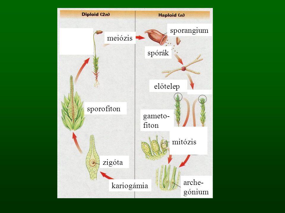 meiózis sporangium spórák mitózis előtelep gameto- fiton sporofiton arche- gónium zigóta kariogámia
