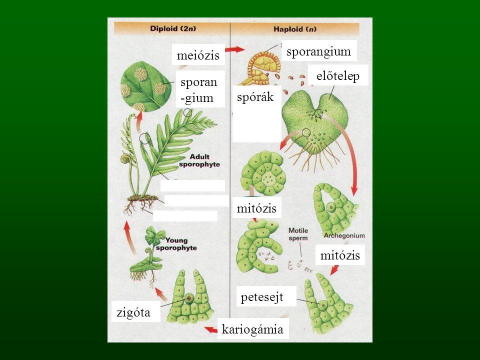 meiózis kariogámia spórák mitózis sporangium előtelep zigóta sporan -gium petesejt