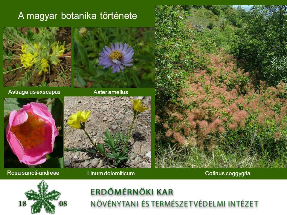 A magyar botanika története Astragalus exscapus Rosa sancti-andreae Linum dolomiticumCotinus coggygria Aster amellus