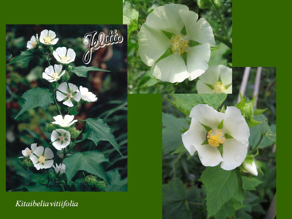 Kitaibelia vitiifolia