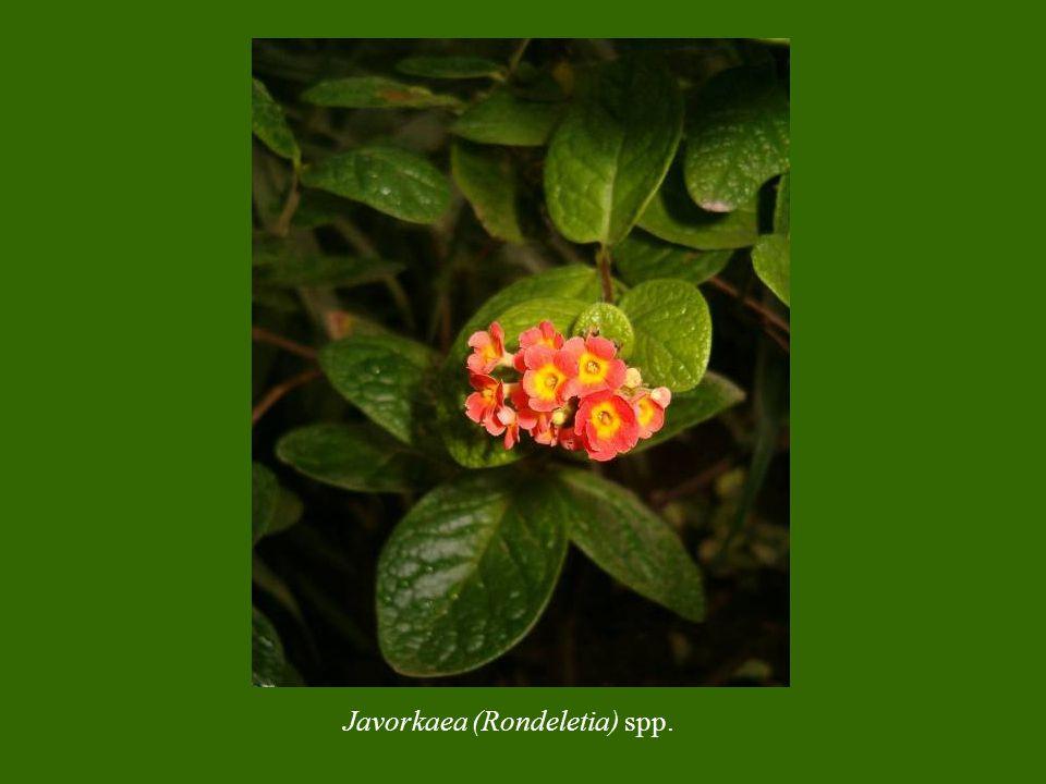 Javorkaea (Rondeletia) spp.