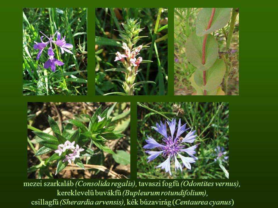 mezei szarkaláb (Consolida regalis), tavaszi fogfű (Odontites vernus), kereklevelű buvákfű (Bupleurum rotundifolium), csillagfű (Sherardia arvensis), kék búzavirág (Centaurea cyanus)