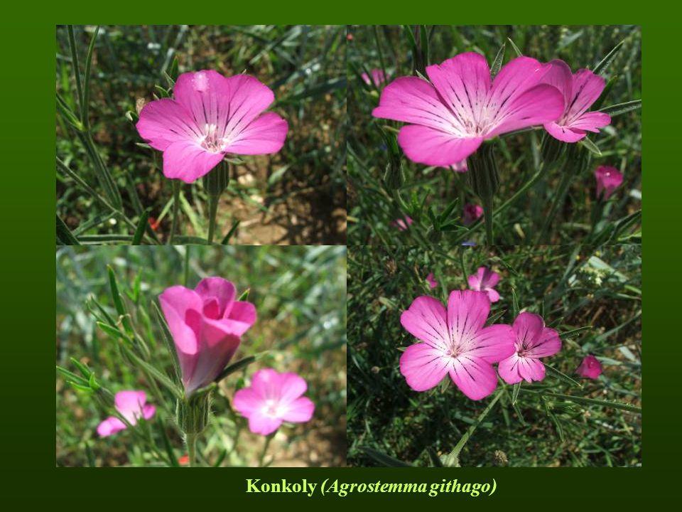 Konkoly (Agrostemma githago)