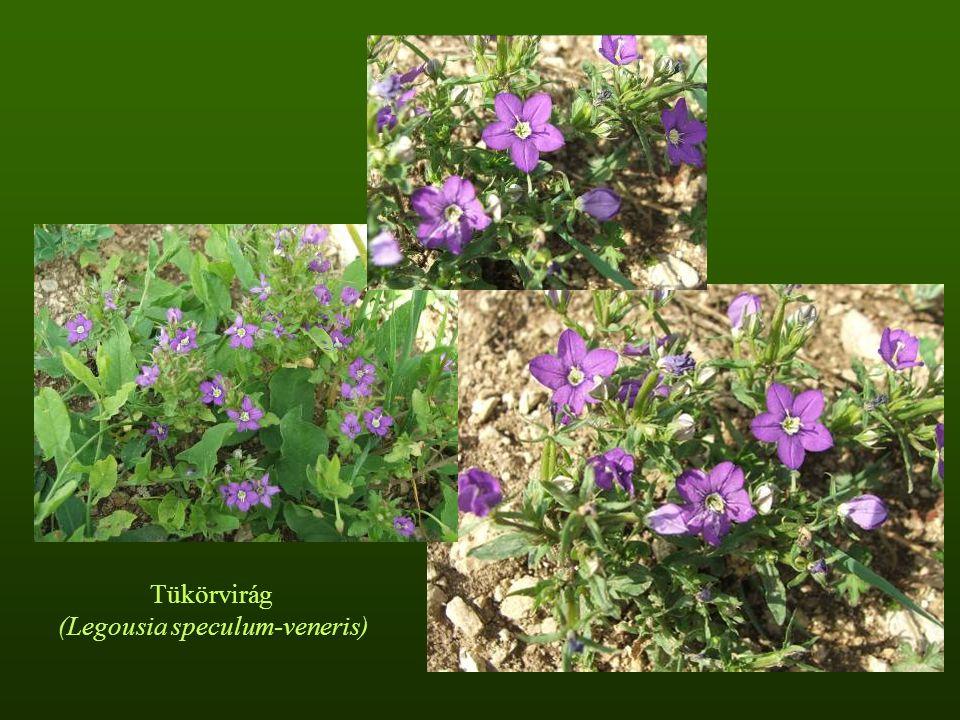 Tüskés ördögbocskor (Caucalis platycarpos)Berzenke (Scandix pecten-veneris)