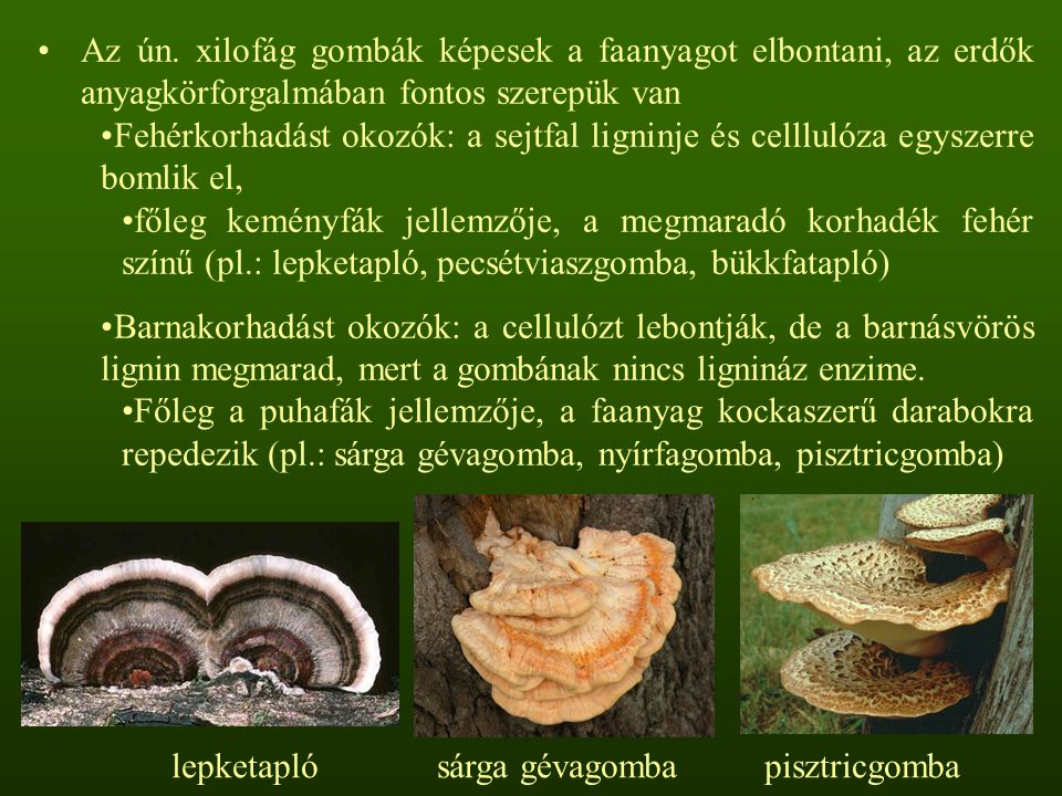 Az ún. xilofág gombák képesek a faanyagot elbontani, az erdők anyagkörforgalmában fontos szerepük van Fehérkorhadást okozók: a sejtfal ligninje és cel
