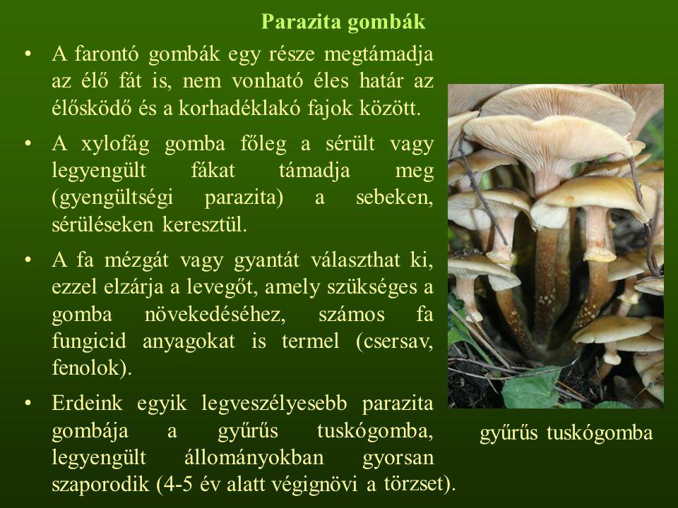 Parazita gombák A farontó gombák egy része megtámadja az élő fát is, nem vonható éles határ az élősködő és a korhadéklakó fajok között. A xylofág gomb