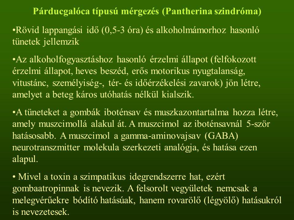 Párducgalóca típusú mérgezés (Pantherina szindróma) Rövid lappangási idő (0,5-3 óra) és alkoholmámorhoz hasonló tünetek jellemzik Az alkoholfogyasztás