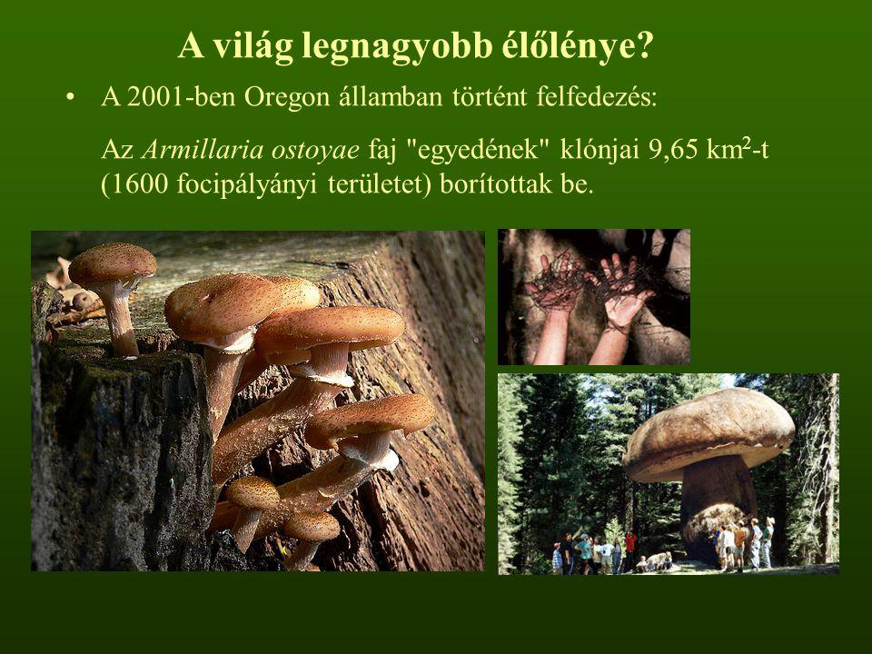 A 2001-ben Oregon államban történt felfedezés: Az Armillaria ostoyae faj