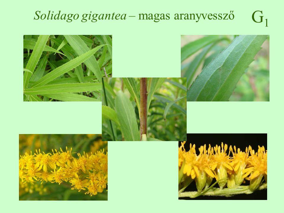 G1G1 Solidago gigantea – magas aranyvessző