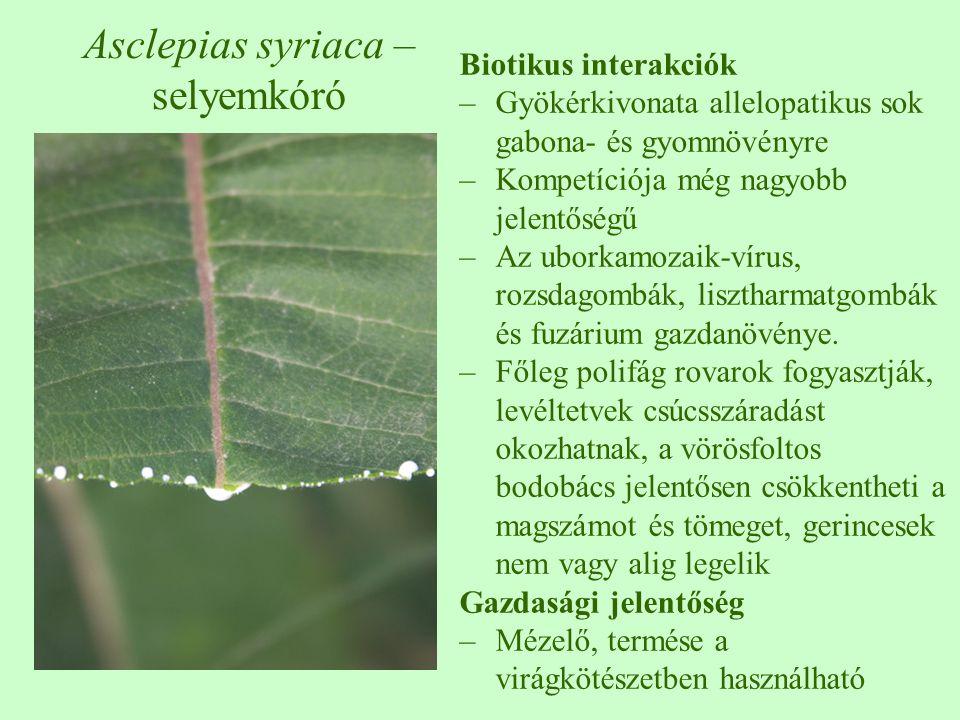 Asclepias syriaca – selyemkóró Biotikus interakciók –Gyökérkivonata allelopatikus sok gabona- és gyomnövényre –Kompetíciója még nagyobb jelentőségű –A