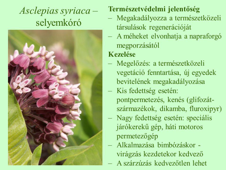Asclepias syriaca – selyemkóró Természetvédelmi jelentőség –Megakadályozza a természetközeli társulások regenerációját –A méheket elvonhatja a naprafo