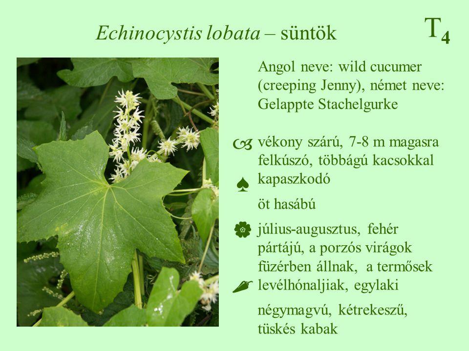 T4T4 Echinocystis lobata – süntök Angol neve: wild cucumer (creeping Jenny), német neve: Gelappte Stachelgurke vékony szárú, 7-8 m magasra felkúszó, t