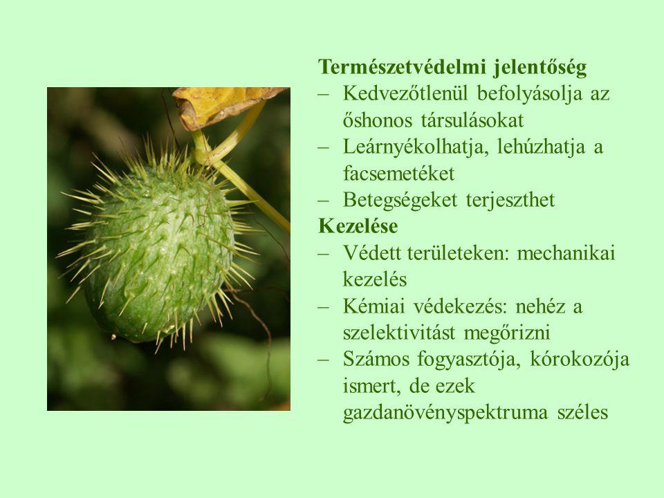 Természetvédelmi jelentőség –Kedvezőtlenül befolyásolja az őshonos társulásokat –Leárnyékolhatja, lehúzhatja a facsemetéket –Betegségeket terjeszthet