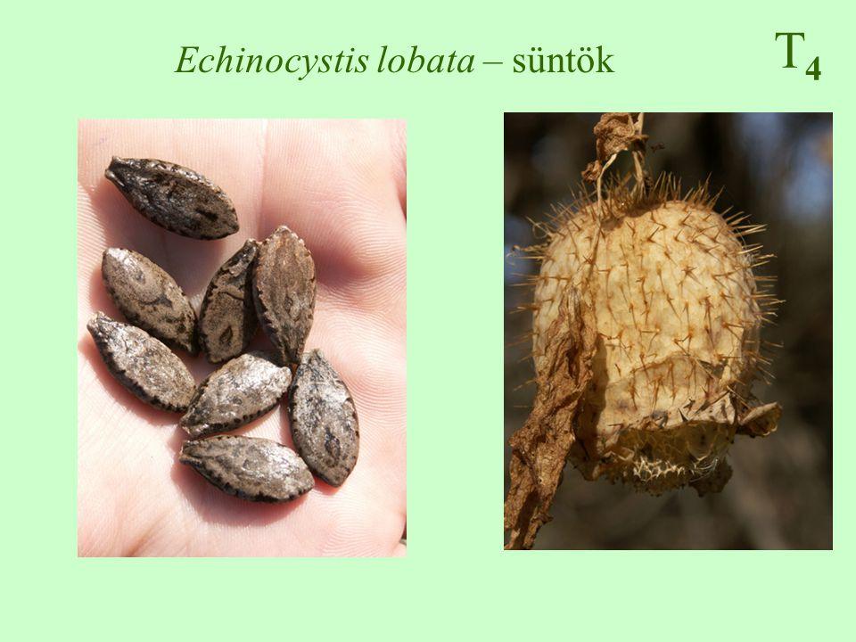 T4T4 Echinocystis lobata – süntök