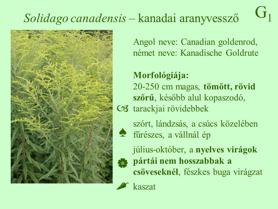 G1G1 Solidago gigantea – magas aranyvessző Angol neve: Giant goldenrod, német neve: Riesen-Goldrute 20-250 cm magas, kopasz, csak a virágzatban szőrös, tarackjai hosszabbak szórt, lándzsás, a csúcs közelében fűrészes, a vállnál ép július-október, a nyelves virágok pártái hosszabbak a csöveseknél, fészkes buga virágzat kaszat ♠♠