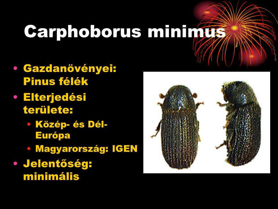 Carphoborus minimus Gazdanövényei: Pinus félék Elterjedési területe: Közép- és Dél- Európa Magyarország: IGEN Jelentőség: minimális