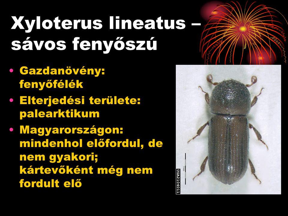 Xyloterus lineatus – sávos fenyőszú Gazdanövény: fenyőfélék Elterjedési területe: palearktikum Magyarországon: mindenhol előfordul, de nem gyakori; ká