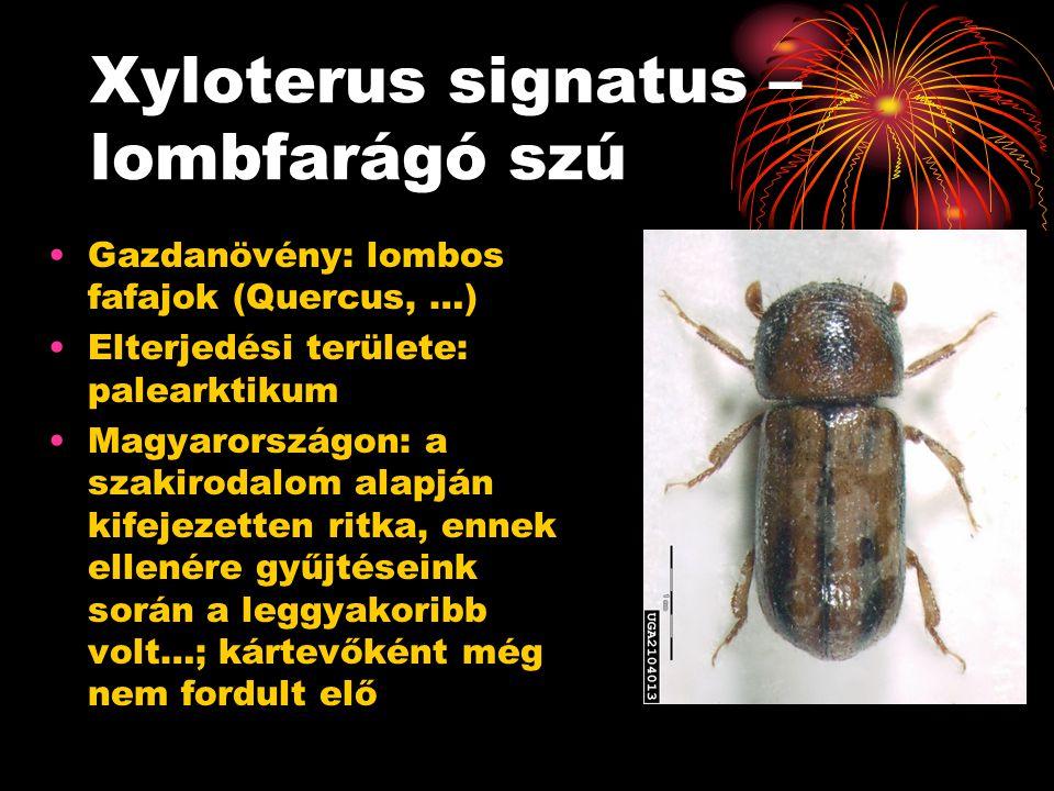 Xyloterus signatus – lombfarágó szú Gazdanövény: lombos fafajok (Quercus, …) Elterjedési területe: palearktikum Magyarországon: a szakirodalom alapján