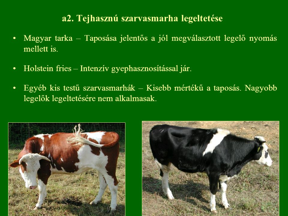 a2. Tejhasznú szarvasmarha legeltetése Magyar tarka – Taposása jelentős a jól megválasztott legelő nyomás mellett is. Holstein fries – Intenzív gyepha
