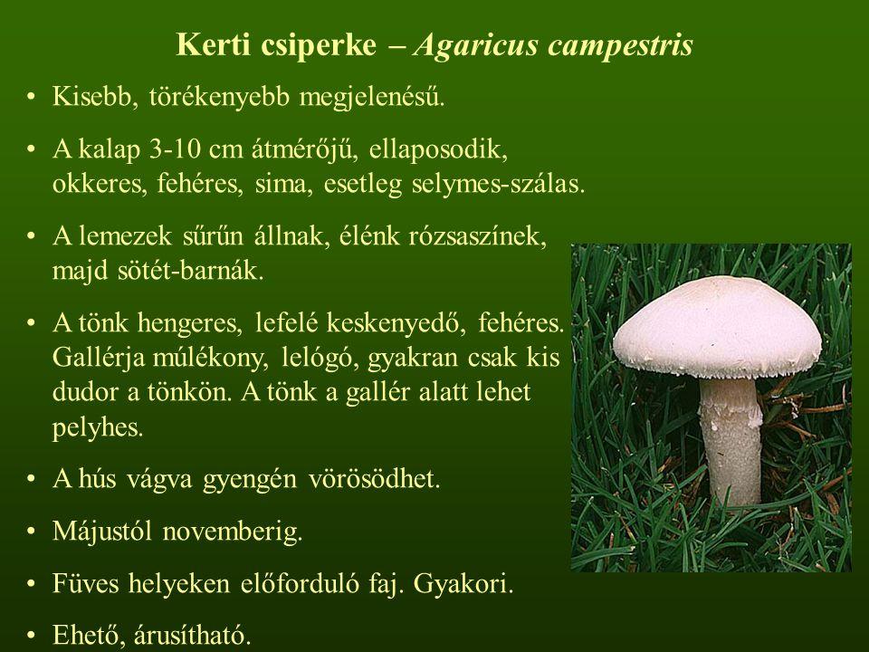 Kerti csiperke – Agaricus campestris Kisebb, törékenyebb megjelenésű. A kalap 3-10 cm átmérőjű, ellaposodik, okkeres, fehéres, sima, esetleg selymes-s