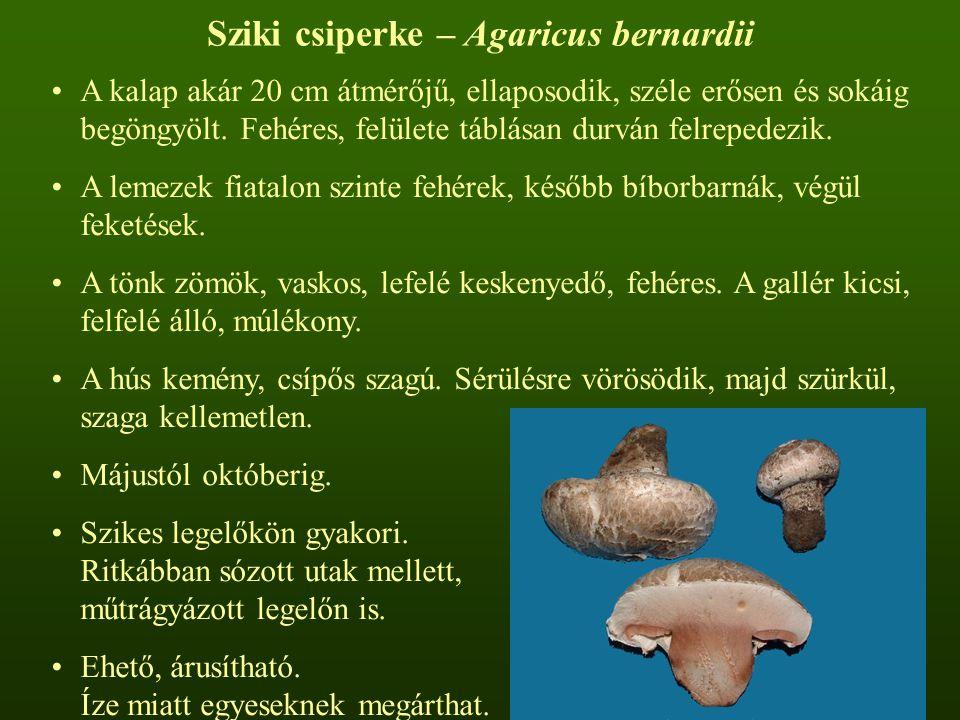 Sziki csiperke – Agaricus bernardii A kalap akár 20 cm átmérőjű, ellaposodik, széle erősen és sokáig begöngyölt. Fehéres, felülete táblásan durván fel