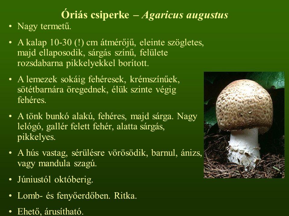 Óriás csiperke – Agaricus augustus Nagy termetű. A kalap 10-30 (!) cm átmérőjű, eleinte szögletes, majd ellaposodik, sárgás színű, felülete rozsdabarn