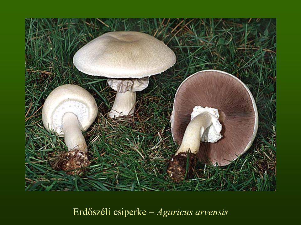 Erdőszéli csiperke – Agaricus arvensis
