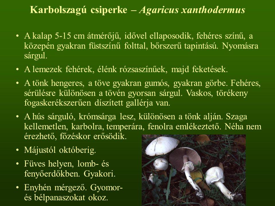Karbolszagú csiperke – Agaricus xanthodermus A kalap 5-15 cm átmérőjű, idővel ellaposodik, fehéres színű, a közepén gyakran füstszínű folttal, bőrszer