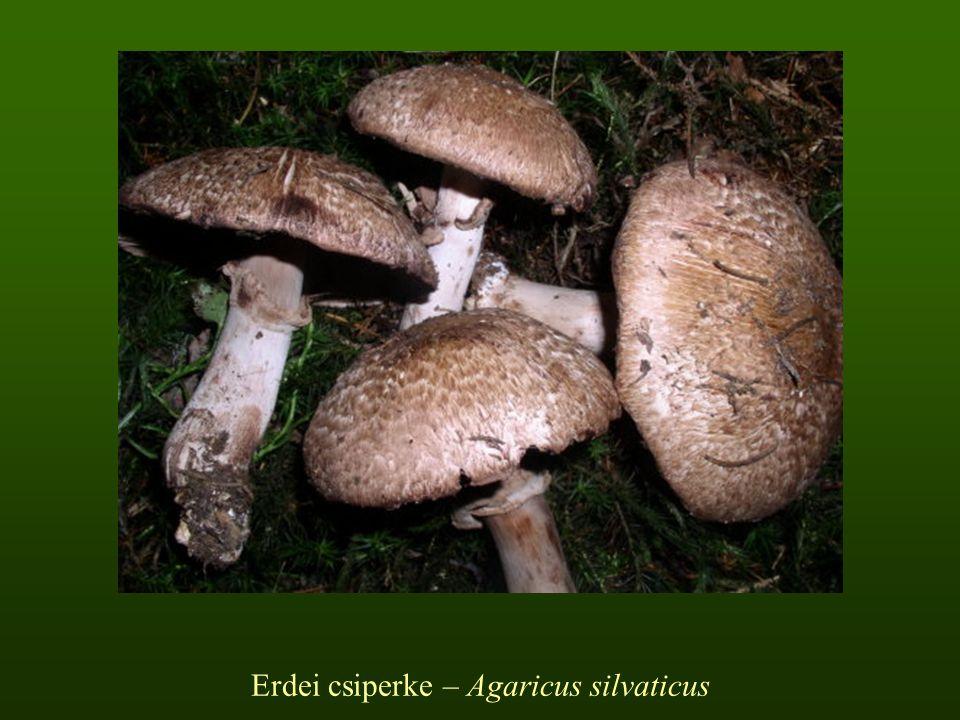 Erdei csiperke – Agaricus silvaticus