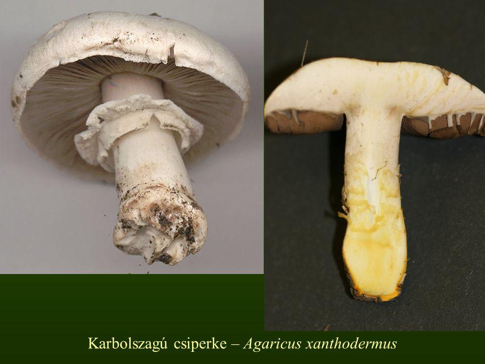 Karbolszagú csiperke – Agaricus xanthodermus