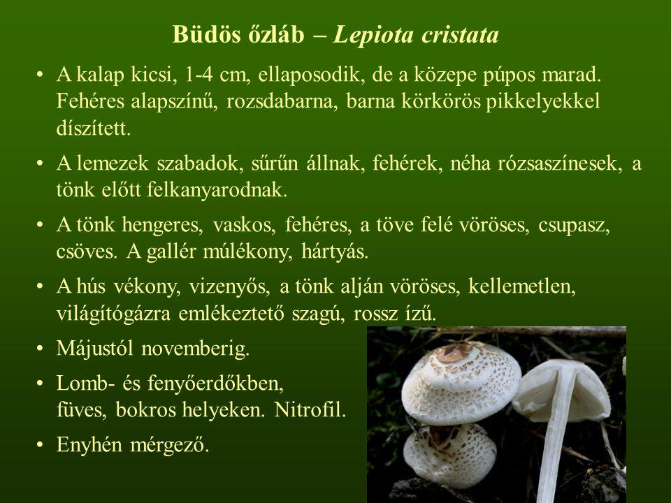 Büdös őzláb – Lepiota cristata A kalap kicsi, 1-4 cm, ellaposodik, de a közepe púpos marad. Fehéres alapszínű, rozsdabarna, barna körkörös pikkelyekke