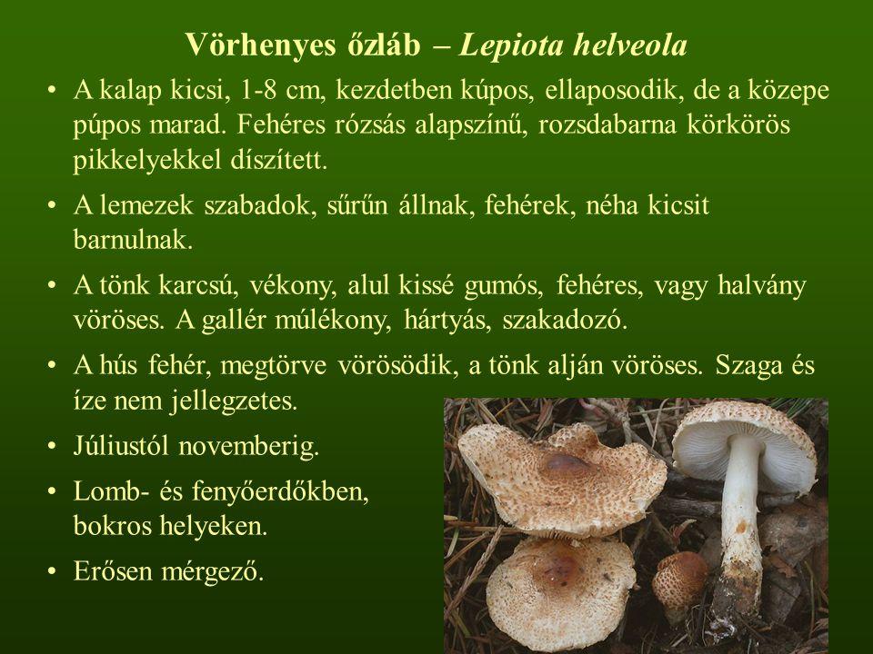 Vörhenyes őzláb – Lepiota helveola A kalap kicsi, 1-8 cm, kezdetben kúpos, ellaposodik, de a közepe púpos marad. Fehéres rózsás alapszínű, rozsdabarna