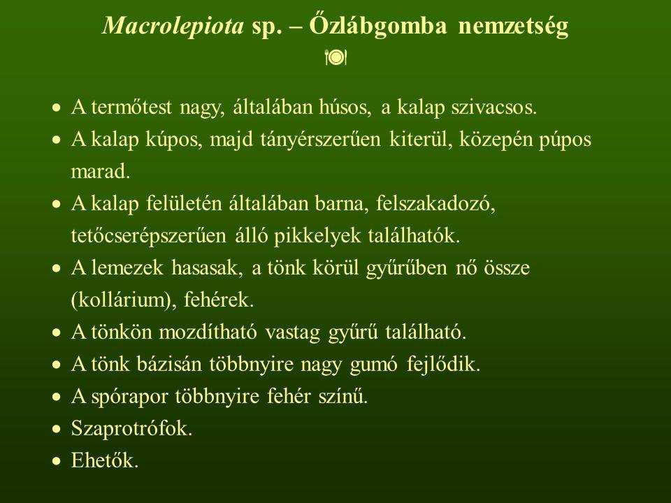 Macrolepiota sp. – Őzlábgomba nemzetség   A termőtest nagy, általában húsos, a kalap szivacsos.  A kalap kúpos, majd tányérszerűen kiterül, közepén