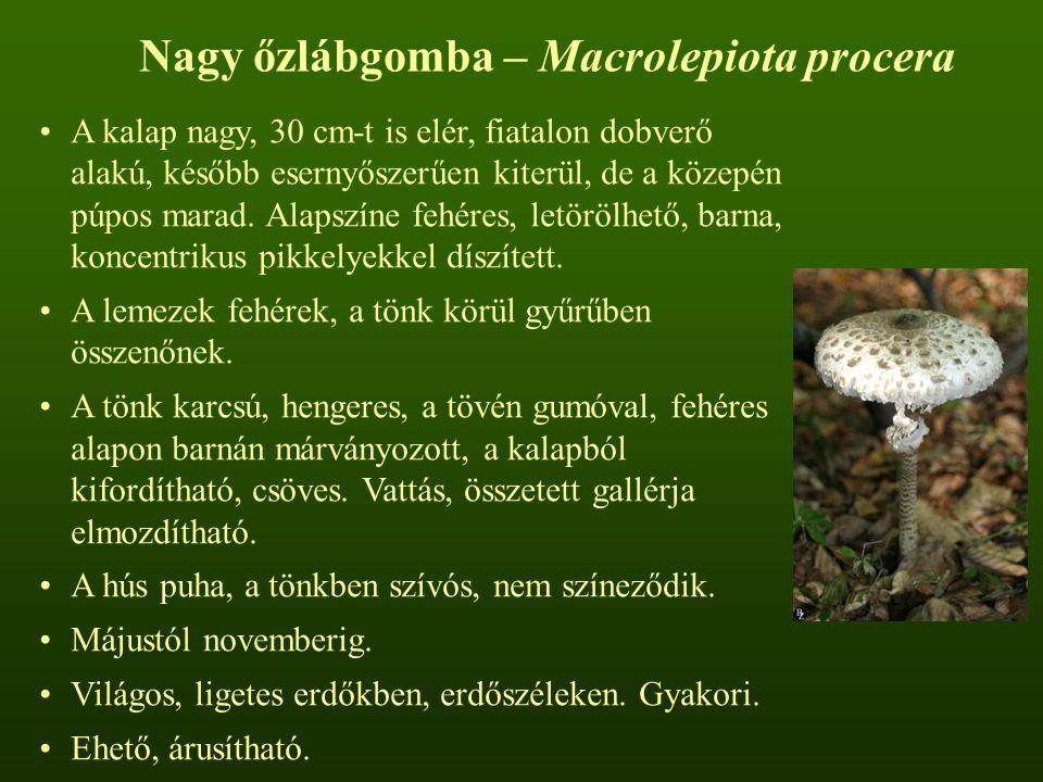 Nagy őzlábgomba – Macrolepiota procera A kalap nagy, 30 cm-t is elér, fiatalon dobverő alakú, később esernyőszerűen kiterül, de a közepén púpos marad.