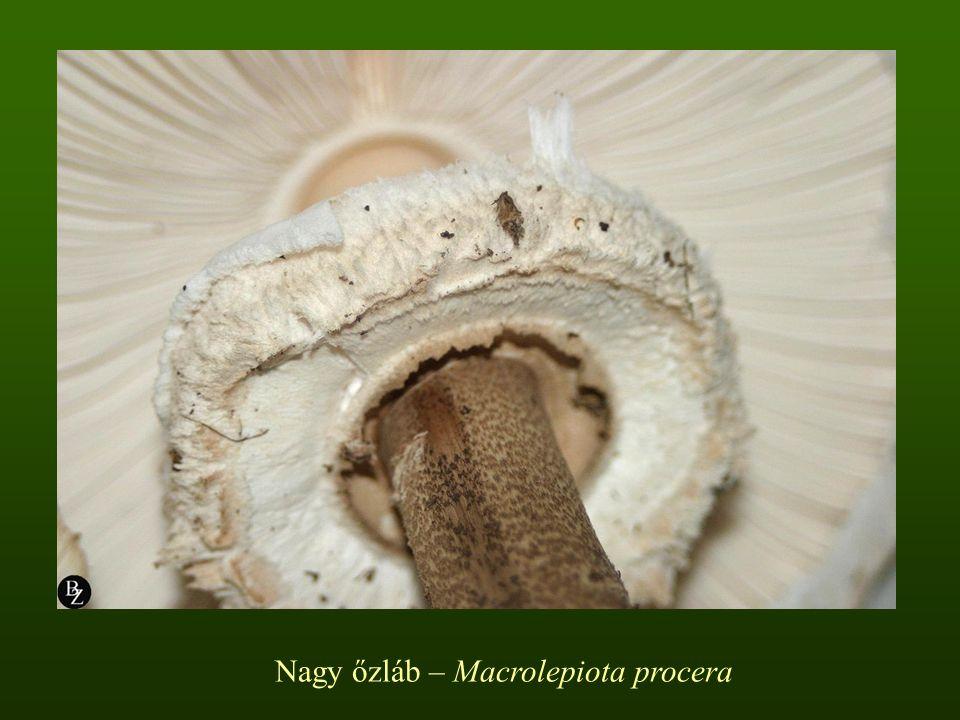 Nagy őzláb – Macrolepiota procera