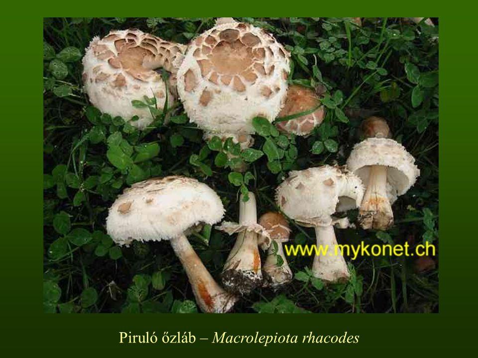 Piruló őzláb – Macrolepiota rhacodes