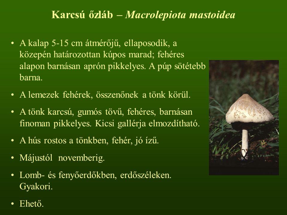 Karcsú őzláb – Macrolepiota mastoidea A kalap 5-15 cm átmérőjű, ellaposodik, a közepén határozottan kúpos marad; fehéres alapon barnásan aprón pikkely
