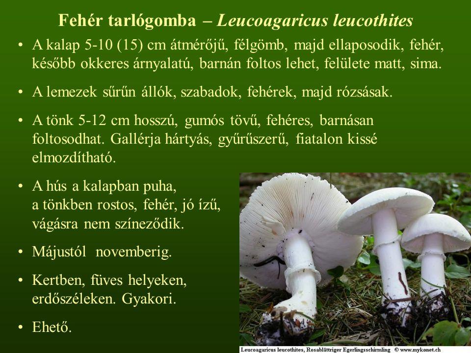Fehér tarlógomba – Leucoagaricus leucothites A kalap 5-10 (15) cm átmérőjű, félgömb, majd ellaposodik, fehér, később okkeres árnyalatú, barnán foltos