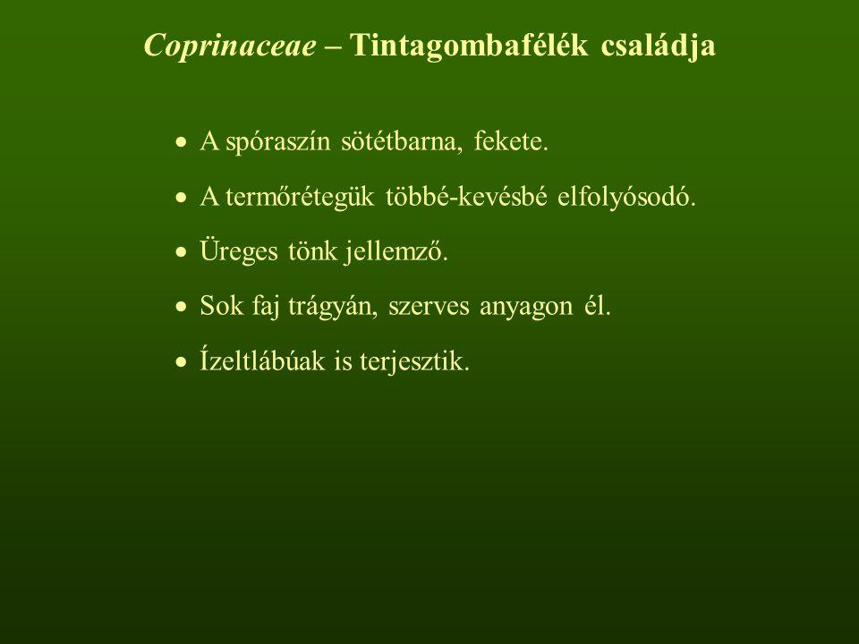 Coprinaceae – Tintagombafélék családja  A spóraszín sötétbarna, fekete.  A termőrétegük többé-kevésbé elfolyósodó.  Üreges tönk jellemző.  Sok faj