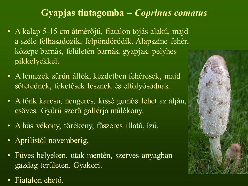 Gyapjas tintagomba – Coprinus comatus A kalap 5-15 cm átmérőjű, fiatalon tojás alakú, majd a széle felhasadozik, felpöndörödik. Alapszíne fehér, közep