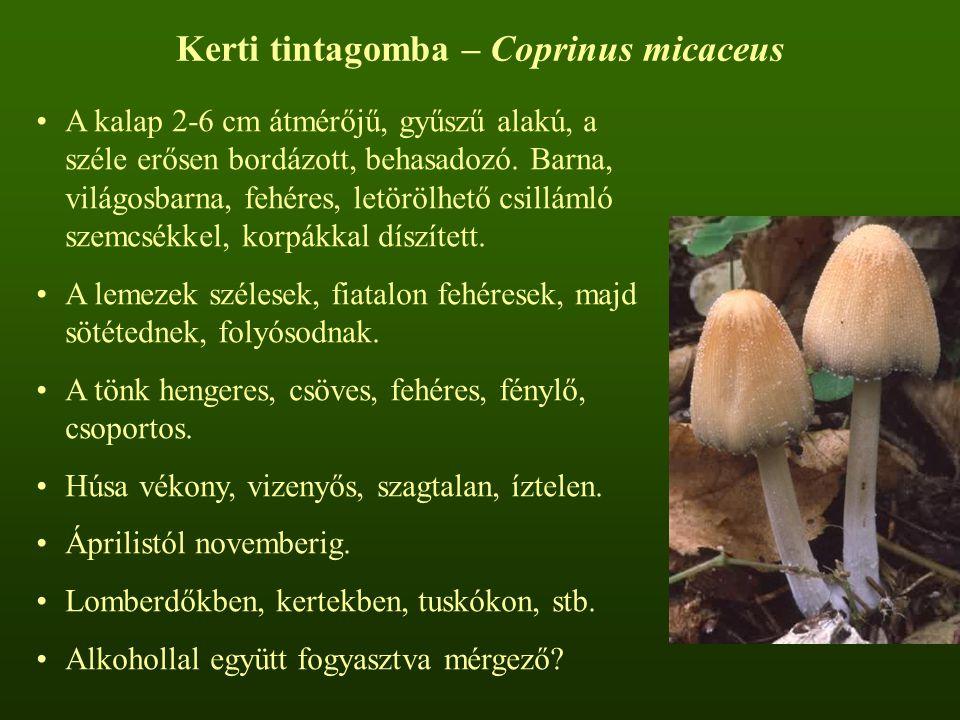 Kerti tintagomba – Coprinus micaceus A kalap 2-6 cm átmérőjű, gyűszű alakú, a széle erősen bordázott, behasadozó. Barna, világosbarna, fehéres, letörö