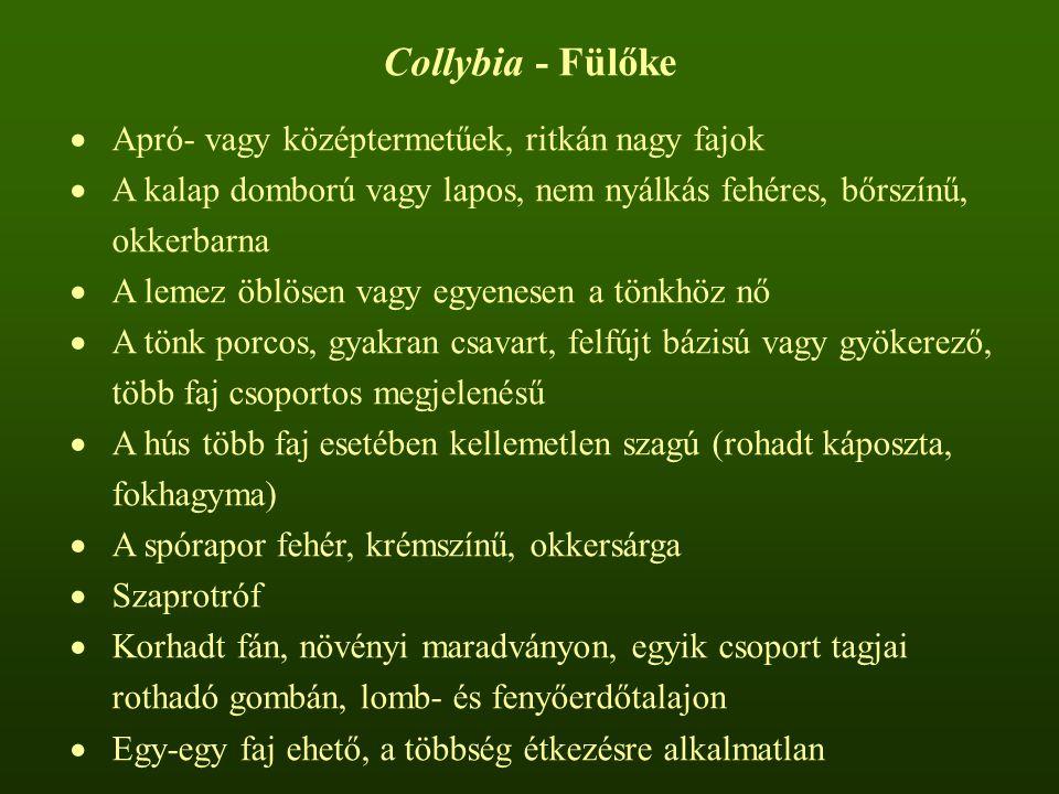 Collybia - Fülőke  Apró- vagy középtermetűek, ritkán nagy fajok  A kalap domború vagy lapos, nem nyálkás fehéres, bőrszínű, okkerbarna  A lemez öblösen vagy egyenesen a tönkhöz nő  A tönk porcos, gyakran csavart, felfújt bázisú vagy gyökerező, több faj csoportos megjelenésű  A hús több faj esetében kellemetlen szagú (rohadt káposzta, fokhagyma)  A spórapor fehér, krémszínű, okkersárga  Szaprotróf  Korhadt fán, növényi maradványon, egyik csoport tagjai rothadó gombán, lomb- és fenyőerdőtalajon  Egy-egy faj ehető, a többség étkezésre alkalmatlan