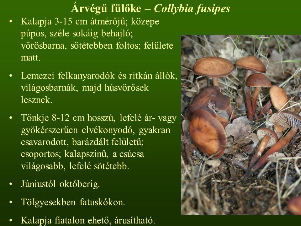 Árvégű fülőke – Collybia fusipes Kalapja 3-15 cm átmérőjű; közepe púpos, széle sokáig behajló; vörösbarna, sötétebben foltos; felülete matt.